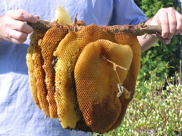 While It Is Very Unusual For Bees To Make Open Air Nests About 1 2 Swarms Per 100 Does Demonstrate The Natural Inclinations Of What Desire In